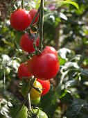 foto of tomato plant  - a tomatoe plant with some ripe and unripe tomatoes - JPG