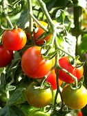 stock photo of tomato plant  - a tomatoe plant with some ripe and unripe tomatoes - JPG