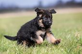 stock photo of shepherds  - Purebred young German Shepherd dog puppy running around outdoors on a grass field on a sunny spring day - JPG