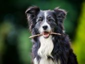 stock photo of border collie  - Purebred border collie outdoors on a summer day - JPG