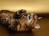 image of bengal cat  - Bengal Cat playing shows cluws on Gold background - JPG