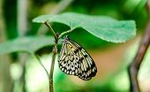 stock photo of nymphs  - Tree Nymph butterfly hanging on a green leaf - JPG