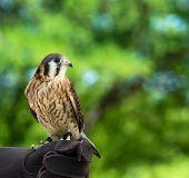 foto of falcon  - American Kestrel  - JPG