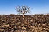 stock photo of prairie  - A large oak tree although bare still stands following a prairie fire - JPG
