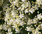 pic of elderberry  - Macro of elderberry flowers  - JPG