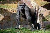 stock photo of herbivores  - Gorilla constitute the eponymous genus Gorilla - JPG