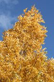 foto of white bark  - Golden/Yellow colored leaves on a tree in the autumn season.  The bark is white. ** Note: Shallow depth of field - JPG