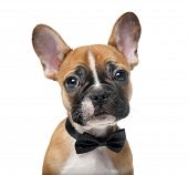 image of french bulldog puppy  - French bulldog puppy wearing a bow tie in front of a white background - JPG
