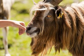 image of goat horns  - Brown and white billy goat with long fur and horns sniffs a human hand - JPG