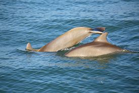 stock photo of bottlenose dolphin  - Mother and baby Common bottlenose dolphins diving near Sanibel island in Florida - JPG