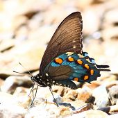 stock photo of natchez  - A Pipevine Swallowtail  - JPG