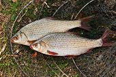 Постер, плакат: Several Of Roach Fish On The Withered Grass
