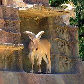 Постер, плакат: Берберийская овец на искусственной скале Ammotragus Lervia Аделаида Зоопарк Аделаида Австралия
