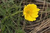 picture of adonis  - Beautiful wild spring an adonis - JPG