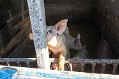 Household Small Pig Sniffs Air In Farm. Pig Farming Is Raising And Breeding Of Domestic Pigs. It Is poster