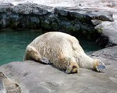 stock photo of polar bears  - Polar Bear sliding into his pool of water - JPG