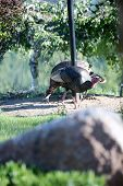 Wild Turkey. Wild Turkeys search for food in a back yard in Washington State.  poster