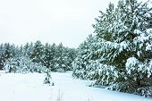 Whitened Fir Trees with Fresh Snow, Lovely Winter Scenery, Majestic White Spruces Glowing by Sunligh poster