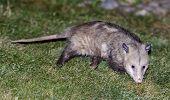 North American Opossum (virginia Opossum)  Foraging In A Residential Property Backyard. Santa Clara  poster