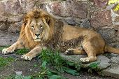 Big African Lion Lies In The Zoo Aviary. Lion Sunbathing And Posing For The Audience At The Zoo poster