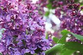 Beautiful Tender Delicate Violet Lilac Flowers Branch In Sunny Garden Close Up poster