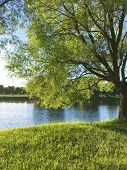 A Single Green Tree On The Coast Of River. Park. Beautiful Landscape. poster