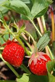 stock photo of strawberry plant  - Red ripe strawberries on the strawberry plant - JPG