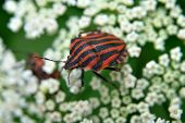 stock photo of minstrel  - Red and black striped Minstrel Bug on a plant - JPG