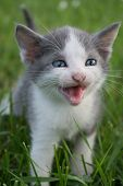 Funny Portrait Of Happy Smiling  Young Grey Cat Gazing With Opened Mouth And Big Eyes .cute American poster