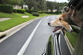stock photo of sheltie  - Sheltie enjoying a car ride down the road