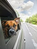 picture of car ride  - a boxer dog riding in a car - JPG