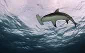 stock photo of apex  - A great hammerhead shark shot from underneath in the Bahamas - JPG