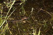 picture of crocodilian  - a picture of a young alligator in the water