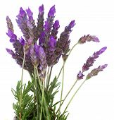 Fresh lavender flowers on white