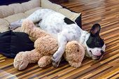 stock photo of friendship  - French bulldog puppy sleeping with teddy bear - JPG