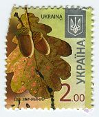 UKRAINE - CIRCA 2013: A stamp printed in Ukraine shows image of the Quercus robur (synonym Q. pedunc
