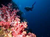 Divers On Wall Of Soft-coral
