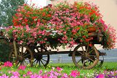 image of stagecoach  - antique wooden wagon with many blooming Geraniums in summer in the mountains - JPG