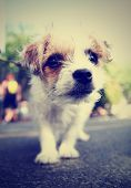stock photo of chihuahua mix  - a cute chihuahua mix close up done with a retro vintage instagram filter - JPG