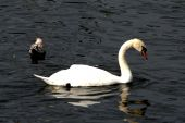 picture of claddagh  - Beautiful swan in the Claddagh Basin  - JPG