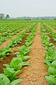 foto of tobaco leaf  - green tobacco field in thailand in cloudy day - JPG