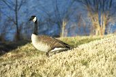 stock photo of honkers  - A Canadian goose in the sun by a lake.