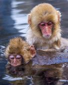 Japanese Snow Monkeys in Nagano, Japan.