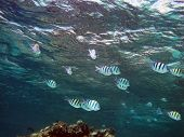 stock photo of damselfish  - A school of sergeant major damselfish near the surface - JPG