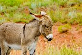 stock photo of burro  - A baby burro at Custer State Park South Dakota - JPG