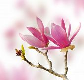 picture of magnolia  - Pink magnolia flowers - JPG