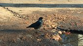 jackdaw jumping on the ground