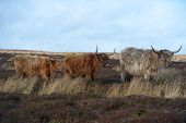 picture of highland-cattle  - Highland Cattle three stood in a row - JPG