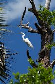 Great White Heron Perched High In Tree