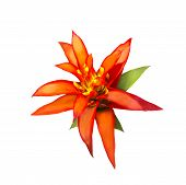 stock photo of bromeliad  - Red and yellow Aechmes Fasciata Bromeliad isolated on white with clipping path